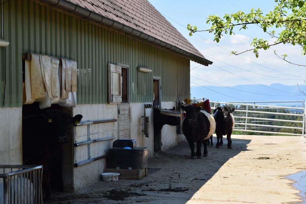 Burkhard's Galloway-Hof in Goldbach im Emmental